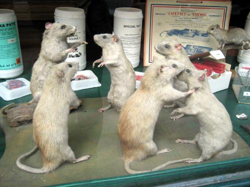 Special Rat