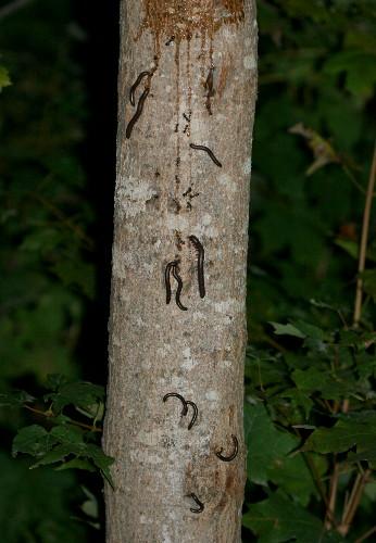 Millipede, Narceus annularis