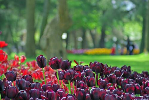 blac-red tulips, Istanbul Tulip Festival, Emirgan park of Istanbul, Pentax K10D