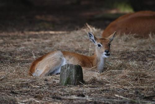 Letschwe-Antilope im Parc Zoologique de La Bourbansais