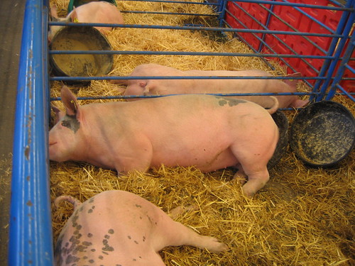 Pig with bucketbutt
