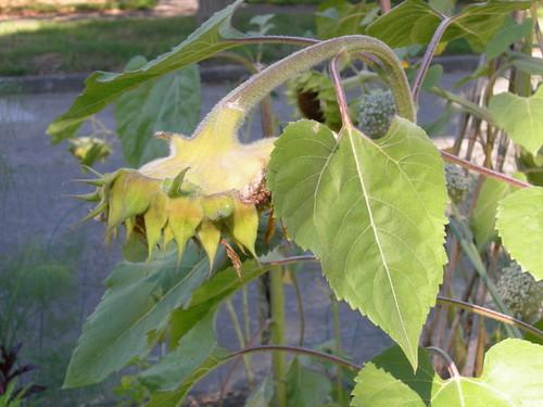 Sunflower Hanging Head