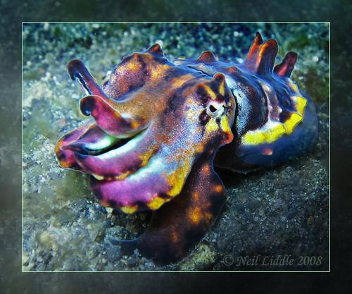 Flamboyant Cuttlefish Macro