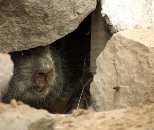 groundhog snout