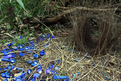 A bowerbird that collects old bottlecaps off the streets of cities is sexy.  A human who does that is...?