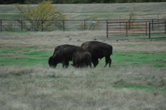Hays Kansas town buffalo herd