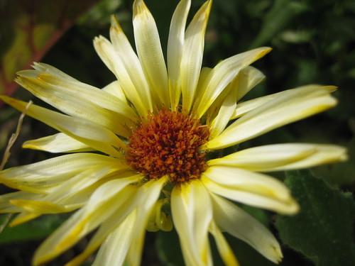 star daisy