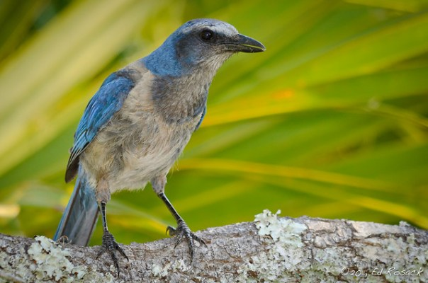 Florida Scrub Jay watches us