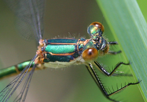 Emerald Spreadwing - male