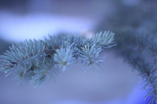 cold pine