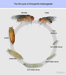 03 Drosophila melanogaster Life Cycle