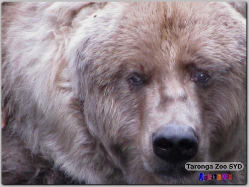 Taronga Zoo - Kodiak Bear
