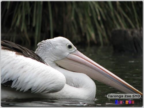 Taronga Zoo - Australian Pelican
