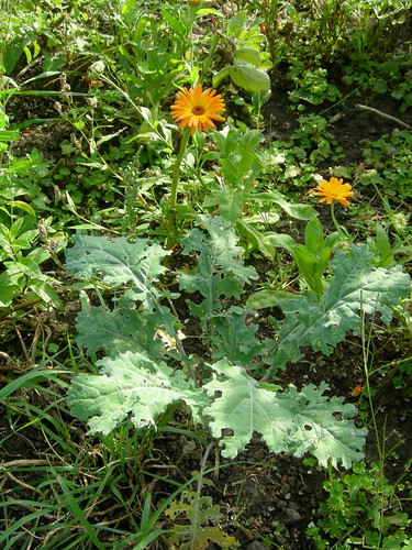 Kale and calendulas