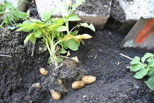 potato plant with potatoes