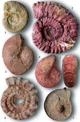 Ks jura ammoniteszek a Dunntli-kzphegysgbl  // Late Jurassic ammonites from Hungary (Fzy Istvn) Tags: fossil ammonites fozy smaradvny fzy ammonitesz magyaroraszg