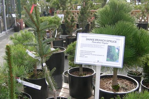 Snake Branch Spruce