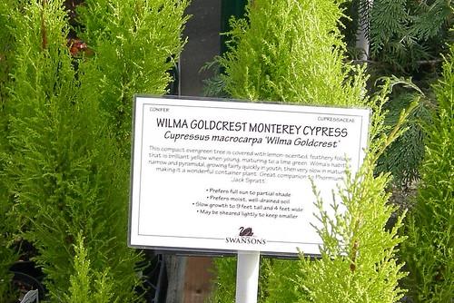 Wilma Goldcrest Monterey Cypress