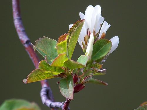 Serviceberry blossom