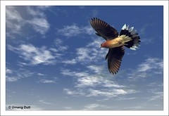 Dove (Streptopelia senegalensis) - In Flight