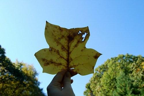 super sized leaf