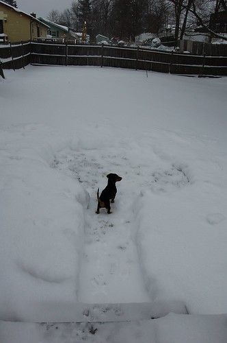 Don't let snow stop your Dachshund from doing his business