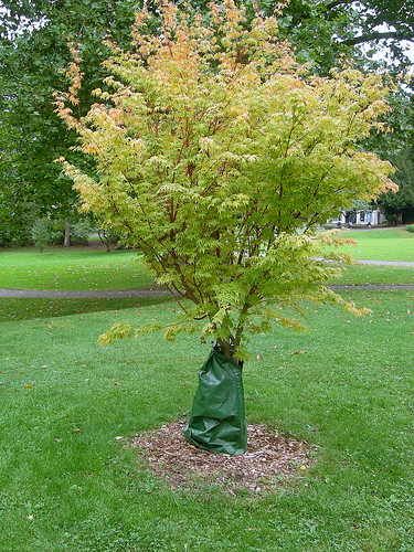 Japanese maple with tree watering bag