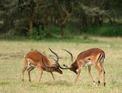 Impala maschi