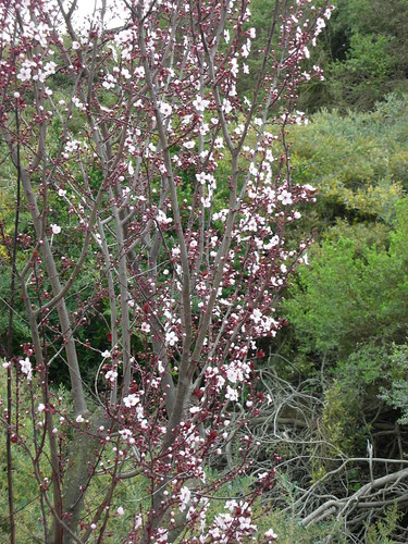 Plum tree blooming