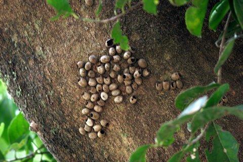 broken egg/pupa cases on ilex paraguensis tree lalbagh 220308