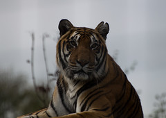 Siberian tiger stare