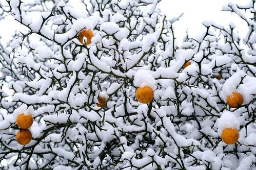 Snowy poncirus trifoliata