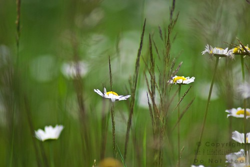 daisies4