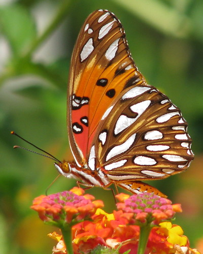 Gulf fritillary at the farm by Vickis Nature on Flickr