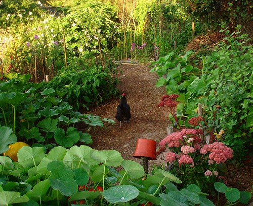 A chicken walks on the path by hardworkinghippy.