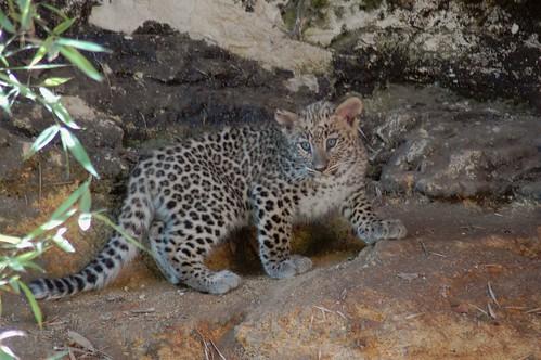 Junger Persischer Leopard im Zoo von Doué-la-Fontaine