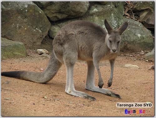 Tarong Zoo - Grey Kangaroo