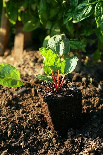 Rhubarb transplant