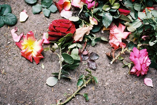 Phot of one red rose among discarded roses on the ground.