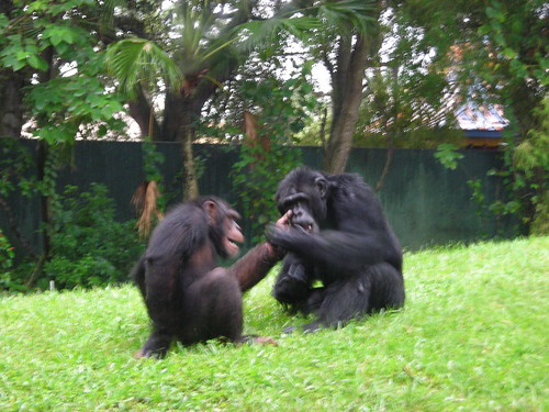 Chimpanzees playing