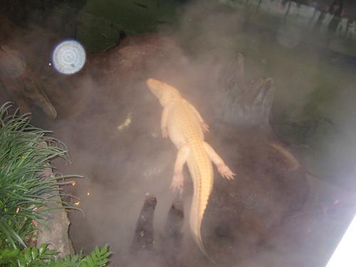 an ALBINO alligator!