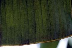 Banana leaf infected with black sigatoka