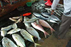 Fisheries industry in Beruwela