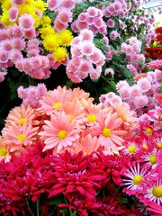 Fall Chrysanthemum Show takes place at Smith College for the next ttwo weeks.