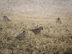 sparrows in the grass