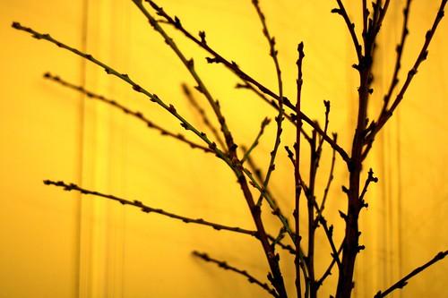 Nectarine Branches