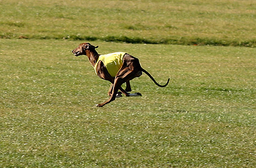 Azelouan coursing the lure