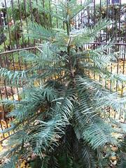 Amsterdam - Botanical Gardens - Wollemi Pine (Portrait)