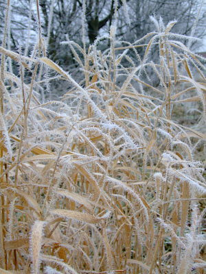 stand of frosted grass