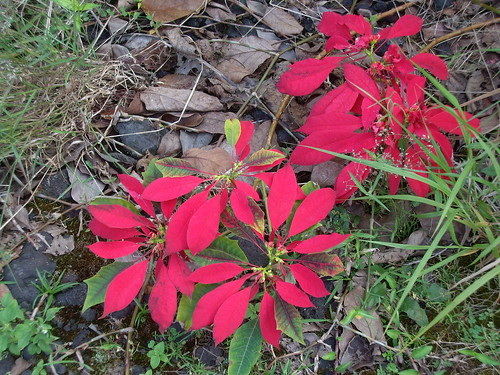 poinsettias trailing out onto the ground